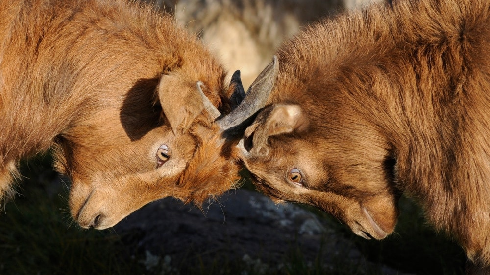 Two goats butting heads, demonstrating a negative feedback response.