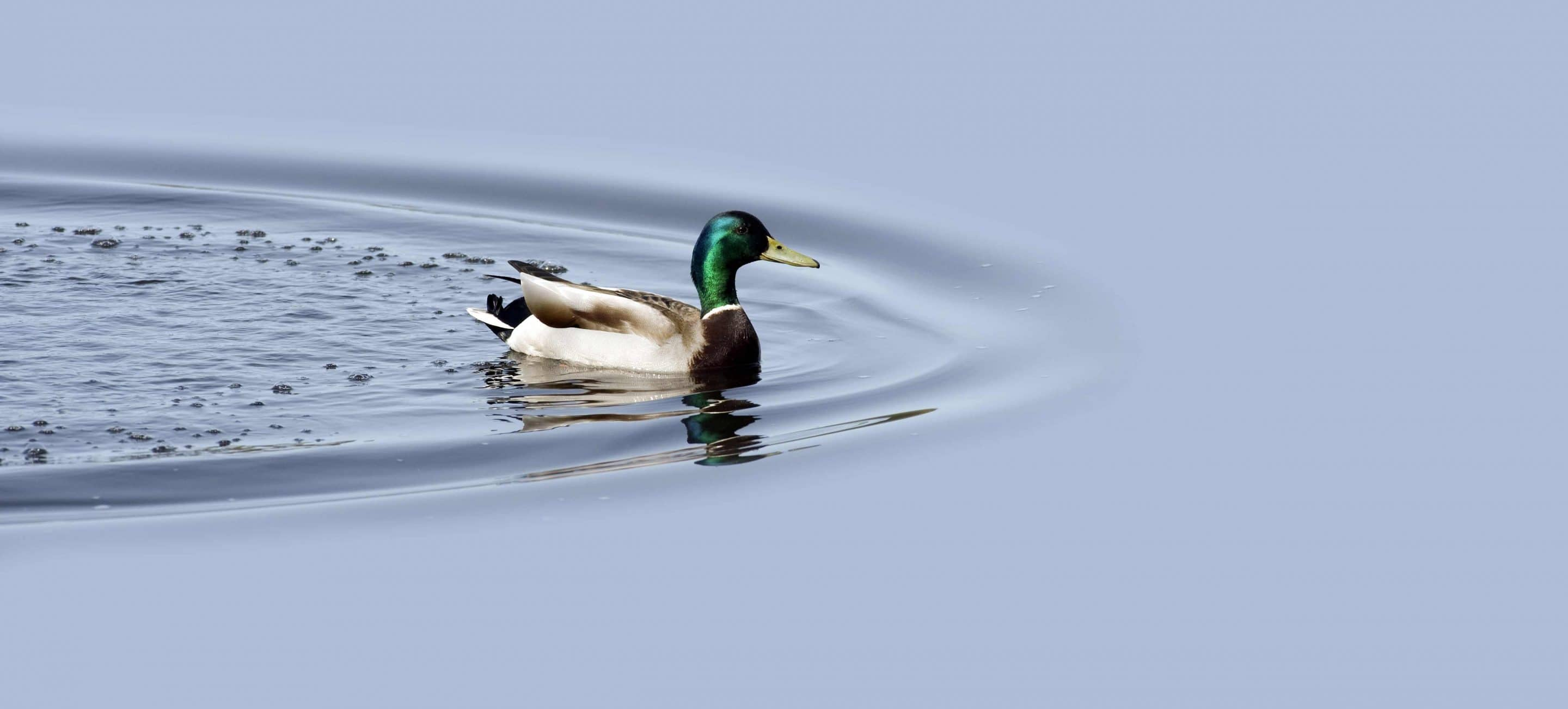 A googd Site Migration is Like a Duck Smoothly, Serenely Gliding But Paddling Like Hell Underneath